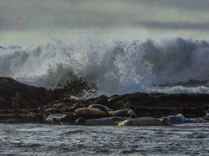 Harbor Seals and Crashing Waves